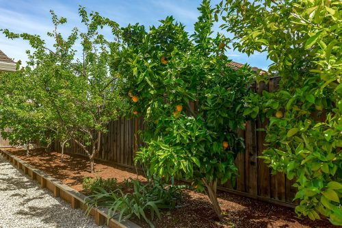 Fruit Trees - 1470 Montclaire